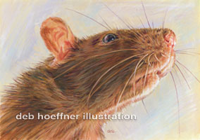 New York Times editorial article rat illustration for science section