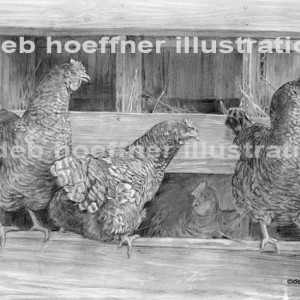 realistic drawing of chickens