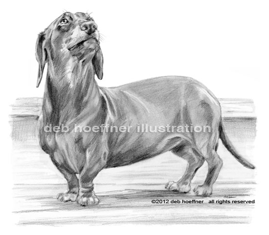 Line Drawings Animals Wildlife : Dachshund drawings for book sensitive pencil illustrations