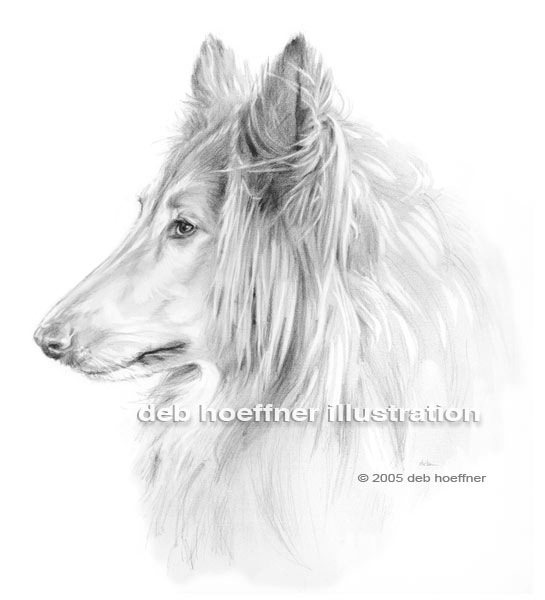 Portrait collie drawing of rough collie