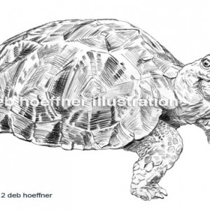 endangered animal turtle drawing