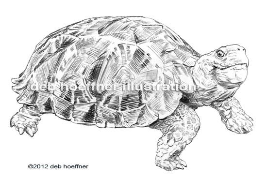 endangered animal turtle drawing