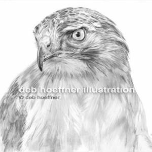 realistic bird drawing deb hoeffner illustration