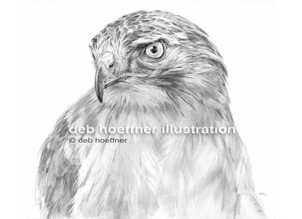 red tailed hawk drawing